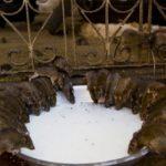 Карни Мата - храм крыс в Индии