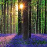 Синий лес Халлербос (Hallerbos) в Бельгии