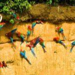 Птицы Перу и Горный петух