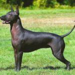 Перуанская гладкошёрстная собака