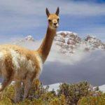 Шерсть из викуньи, Перу