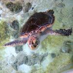 Защитные меры по сохранению популяции морских черепах на северном побережье Перу